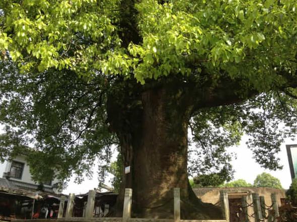 屋前有棵乌桕树